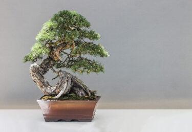 【博士ちゃん】糸魚川真柏(幻の盆栽・珍しい盆栽)値段・取れる場所・育て方まとめ